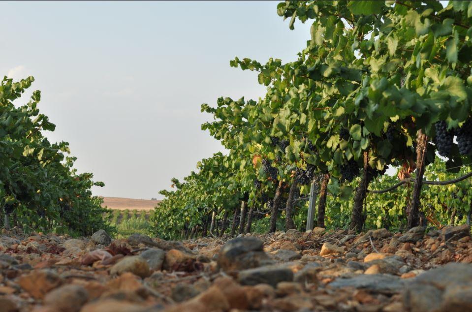 De wijngaarden van Coloma in Extremadura